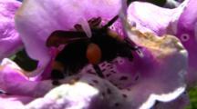 Bee In Foxglove Flowers