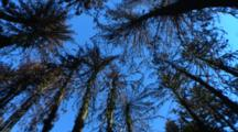 Looking Up At Tree Canopies With Blue Sky