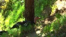 California Condors, Tags Visible, Gather Under Tree
