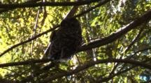 Tilt To Reveal Spotted Owl Perched In Tree