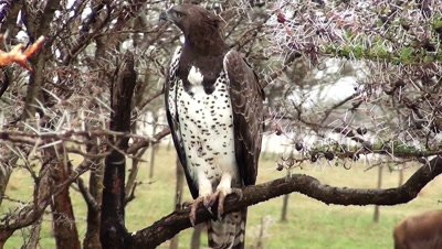 Martial Eagle watching from a branch