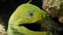 Closeup Of Green Moray Breathing
