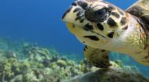 Hawksbill Turtle Close Up Eating