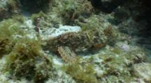 Scorpion Fish Behavior, Fighting Or Mating