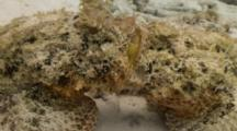Scorpionfish Joined Mouth To Mouth