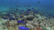 Creole Wrasse Schooling Over Reef