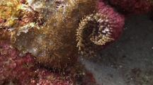 Black-Spotted Feather Duster Worm