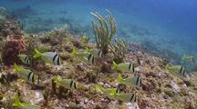 Porkfish School Over Reef