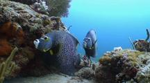 French Angelfish Pair Pause By Coral