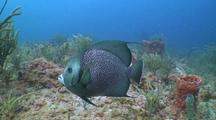 Gray Angel Fish Swimming Over Reef