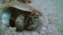 Giant Hermit Crab Feeding In Sand