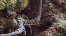 Caribbean Spiny Lobster In Coral Recess