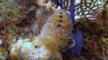 Christmas Tree Worm On White Sponge And Purple Sea Fan Base