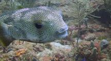 Porcupine Puffer Fish Swims By