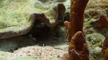 Queen Conch Eye Stalk
