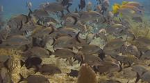 Caesar Grunts,Schoolmasters And Black Durgon Fish Over Reef