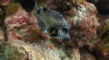 Smooth Trunkfish Swimming Over Coral