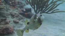 Spotted Trunkfish Swimming From Coral To Sand