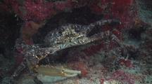 King Crab (Stone Crab) With One Claw Under Coral Reef Ledge