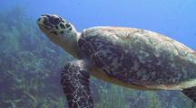Hawksbill Sea Turtle Swimming Over Reef