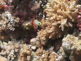 Fire Dartfish Hovers Over Coral