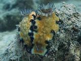 Imperial Nudibranch Pair