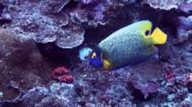 Yellow-Mask Angelfish
