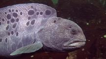 Wolf Eel Swimming