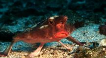 Red-Lipped Batfish On Sandy Bottom