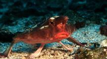 Red-Lipped Batfish On Sandy Bottom