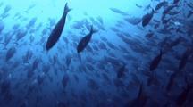 Bonito Tuna Schooling