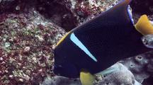King Angelfish Feeding