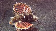 Shortfin Lionfish Displaying