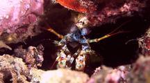 Green Smasher Mantis Shrimp