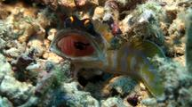 Yellowbarred Jawfish Displaying (Male)