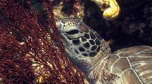 Hawksbill Sea Turtle Resting On Coral Branch Off Wall