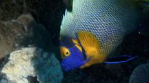 Blueface Angelfish Feeding On A Sponge