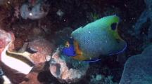 Blueface Angelfish And Moorish Idol Feeding On A Sponge