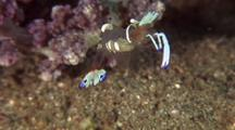 Cleaner Shrimp With Eggs Displaying Near Anemone