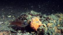 Orange Painted Frogfish Captures Large Cardinal Fish,Difficulty Swallowing