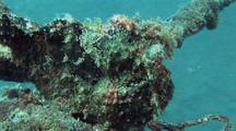 Giant Frogfish On Mooring Line