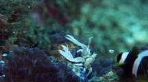 Porcelain Crab Filter Feeding With Saddleback Anemonefish