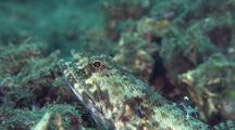 Reef Lizardfish Getting Cleaned By Shrimp