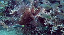 Lacey Scorpionfish Feeding On Cardinalfish