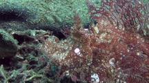 Lacey Scorpionfish Traveling
