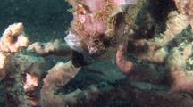 Pink Painted Frogfish Feeds On Cardinalfish