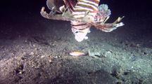 Lionfish Stalks And Captures Cardinalfish