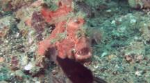 Pink Painted Frogfish Stalks Cardinalfish With Lure And Feeds