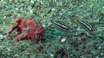 Pink Painted Frogfish Stalks Cardinalfish And Feeds