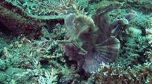 Paddle-Flap Scorpionfish Stalks Cardinalfish